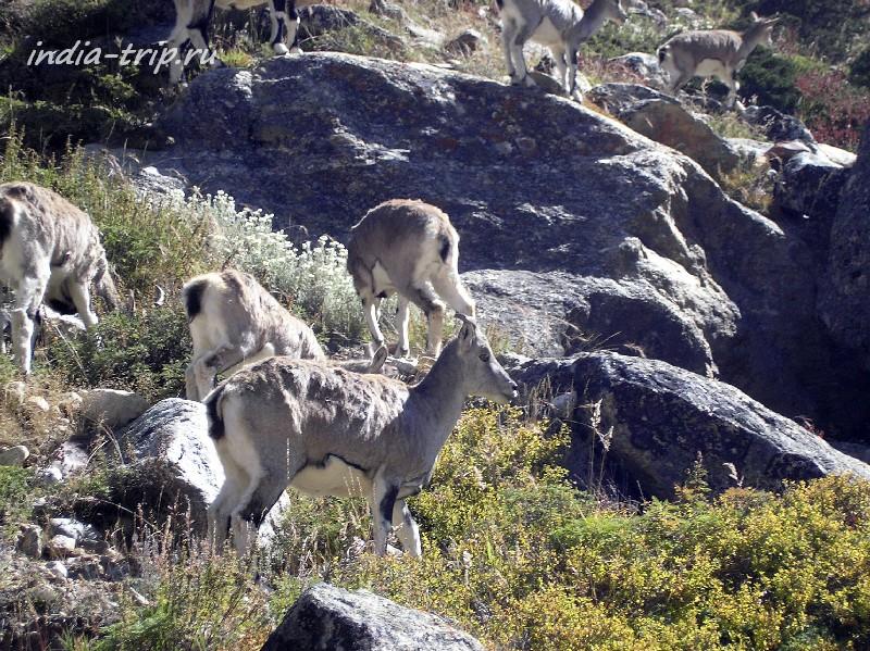 Гималайские горные козлы