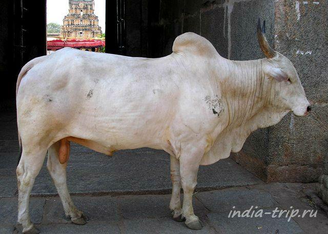 Священный бык в храме Вирупакши