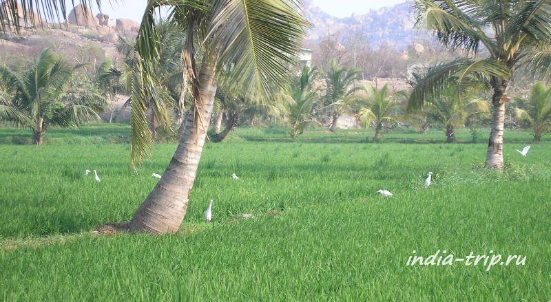 Рисовые поля Хампи