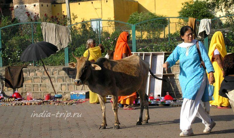 Индианка и корова на храмовой площади