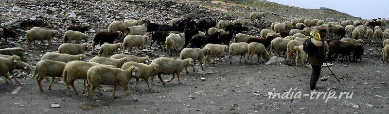 Стадо овец на перевале