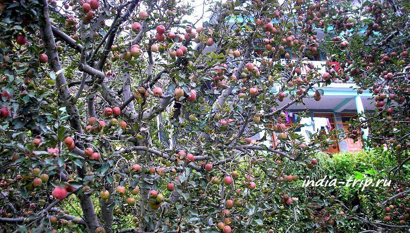 Васишт. Яблоневые сады