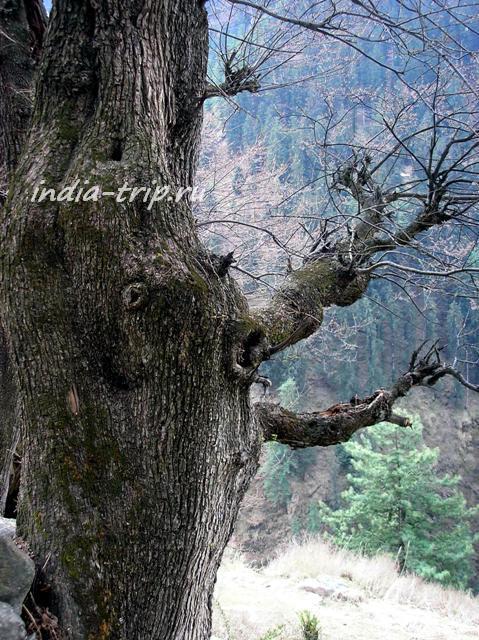 Живое дерево с лицом