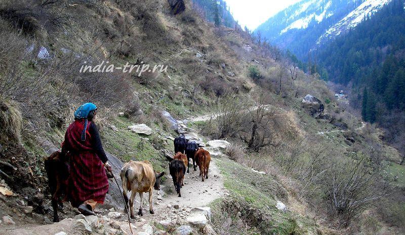 Склон горы и коровы на нем