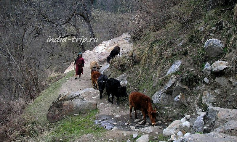 Женщина и коровы на горной тропе