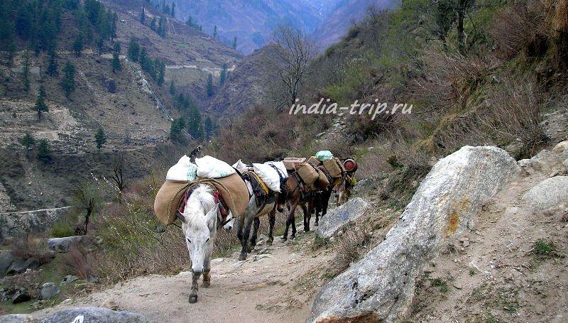 По тропе идут груженые лошадки