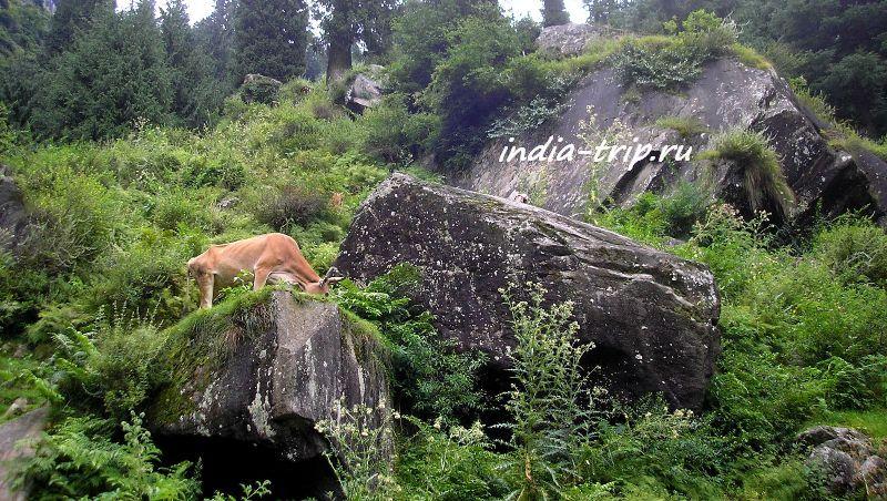 Рыжая корова на скале