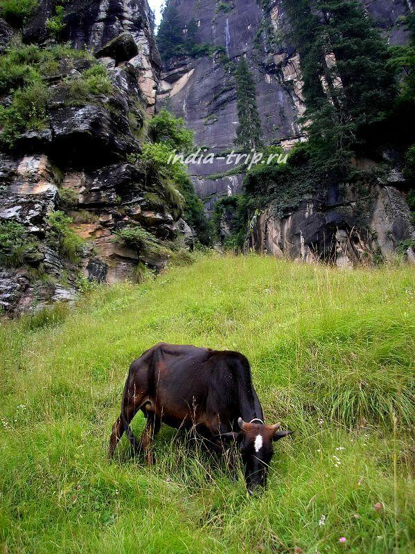Корова на склоне горы