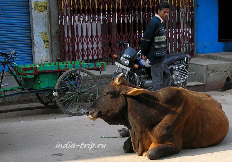 Большая коричневая корова на проезжей части