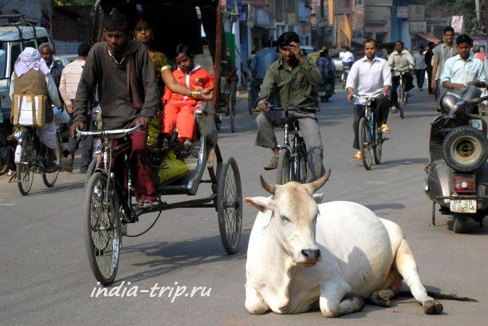 Священное животное прилегло на дороге