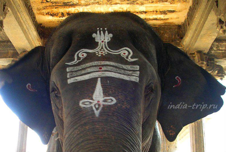 Шиваитские символы на лбу слона