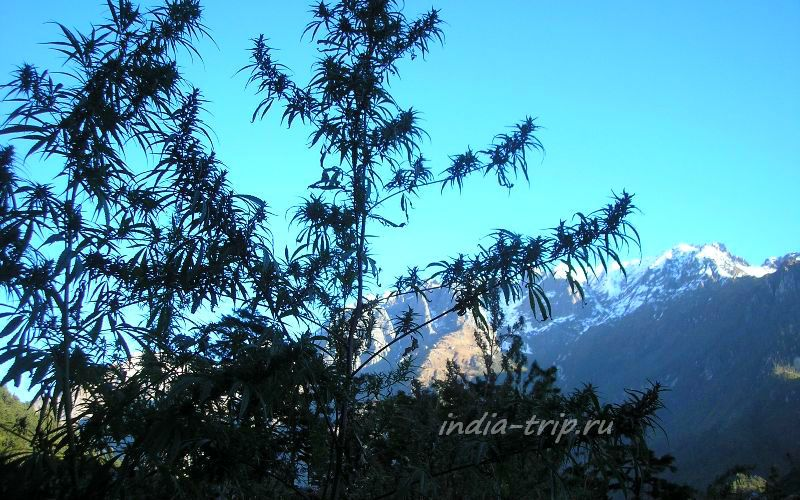 Конопля и Гималаи