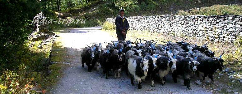 Непал, стадо коз и пастух