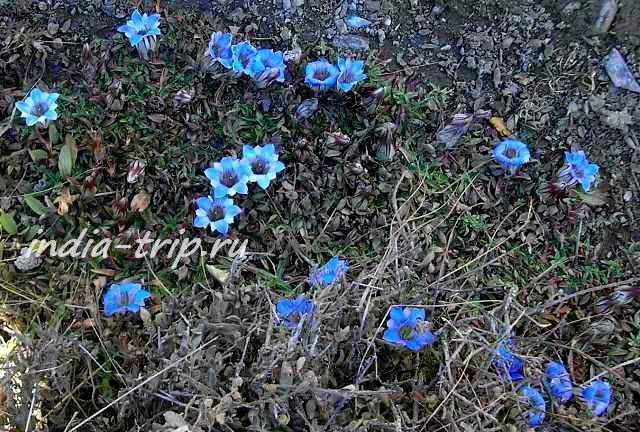 Цветочки гималайские