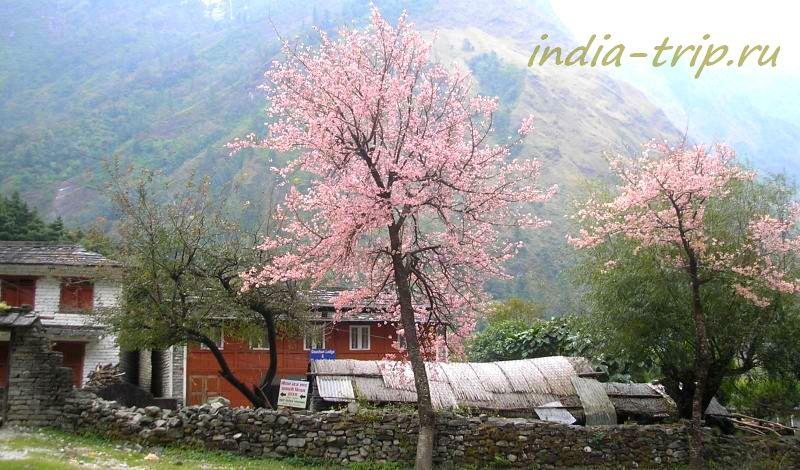 Гхаса, цветущие деревья