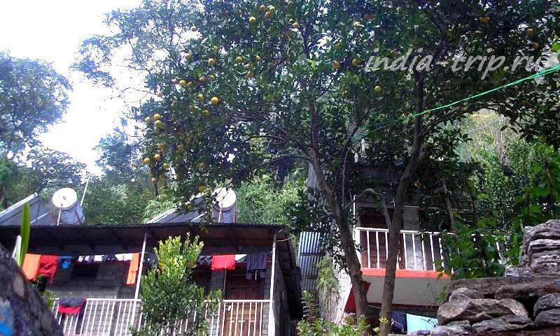 Татопани, апельсиновое дерево