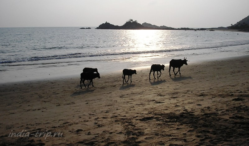 Коровы бредут по пляжу